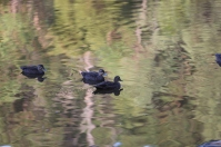 Shows pacific black ducks, Edward Hunter Heritage Bush Reserve