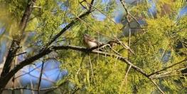 shows grey wagtail in cherry ballart, Edward Hunter Heritage Bush Reserve
