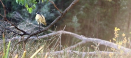 Shows Australian white ibis perched on branch at dam, Edward Hunter Heritage Bush Reserve