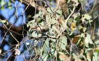 Shows small bird in eucalypt, Edward Hunter Heritage Bush Reserve