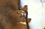 Finches, 1