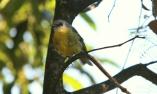 Shows eastern yellow robin, Edward Hunter Heritage Bush Reserve