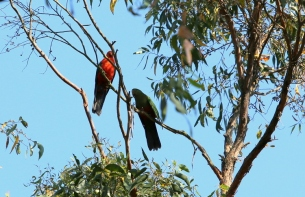 Parrots, young and adult