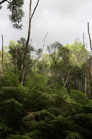 Tree ferns and eucalypts