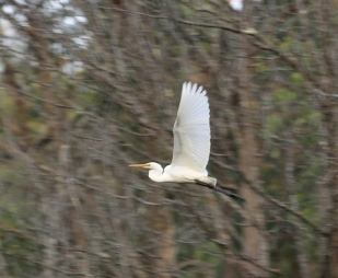 Shows eastern great egret, Edward Hunter Heritage Bush Reserve