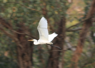 Eastern great egret, Edward Hunter Heritage Bush Reserve