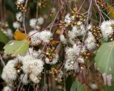 Shows flowers and buds of eucalypt obliqua, Edward Hunter Heritage Bush Reserve