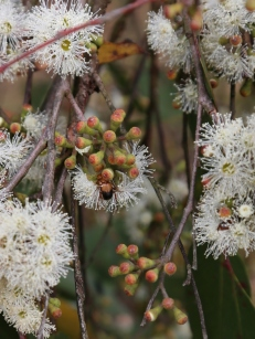 Shows buds of eucalypt obliqua, Edward Hunter Heritage Bush Reserve