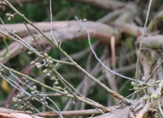 Shows fruit of Eucalyptus obliqua, Edward Hunter Heritage Bush Reserve