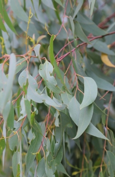 Shows eucalypt obliqua, Edward Hunter Heritage Bush Reserve