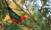 Shows Australian king parrot, Edward Hunter Heritage Bush Reserve