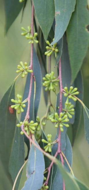 Shows buds and leaves of Peppermint eucalypt, Edward Hunter Heritage Bush Reserve