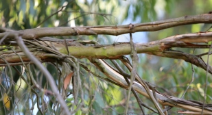 Shows decorticating bark from upper, smaller branches of Eucalypt dives, Edward Hunter Heritage Bush Reserve