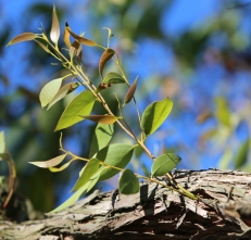 Shows new growth on Messmate, Edward Hunter Heritage Bush Reserve