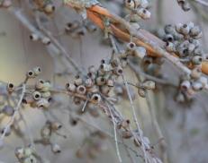Showing buds of eucalypt obliqua, Edward Hunter Heritage Bush Reserve