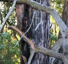 shows eucalypt obliqua bark, Edward Hunter Heritage Bush Reserve