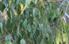 Showing eucalypt obliqua leaves, Edward Hunter Heritage Bush Reserve