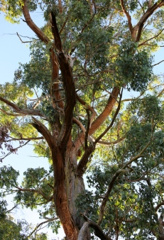 Shows tree shape, Messmate eucalypt, Edward Hunter Heritage Bush Reserve