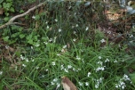 shows three-cornered garlic flowering in Edward Hunter Heritage Bush Reserve