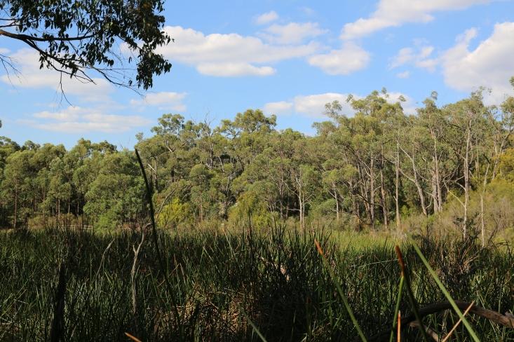 View over dam and tall spike rush (eleocharis sphacelata)