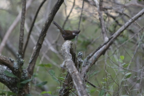 Shows eastern whipbird, Edward Hunter Heritage Bush Reserve