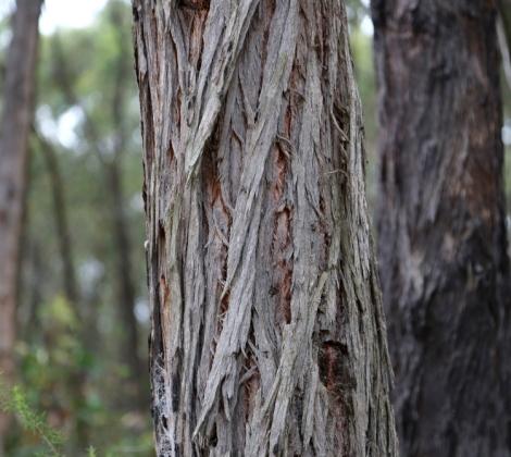 Shows Rough, longitudinally furrowed, stringy, grey-brown bark of eucalyptus conspicua, Edward Hunter Heritage Bush Reserve