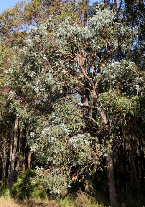 show e.conspicua, Gippsland swamp boc, Edward Hunter Heritage Bush Reserve