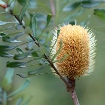 Shows flower of silver banksia (marginata), Edward Hunter Heritage Bush Reserve