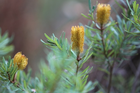 Shows flowers of silver banksia, Edward Hunter Heritage Bush Reserve