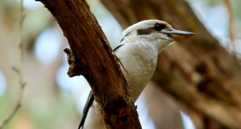 Adult kookaburra perched on eucalypt branch, Edward Hunter Heritage Bush Reserve