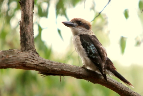 Shows young kookaburra on eucalypt branch, Edward Hunter Heritage Bush Reserve