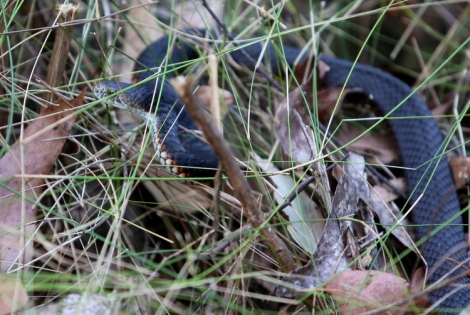 Red-bellied black snake, Edward Hunter Heritage Reserve, reptiles
