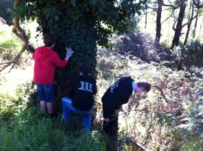 Shows students from Baringa School engaged in removing ivy, Edward Hunter Heritage Bush Reserve