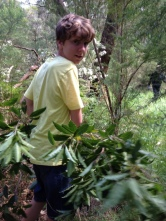 shows VCE student from Baringa School removing pittosporum, Edward Hunter Heritage Bush Reserve