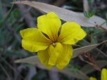 Yellow flower of goodenia ovate, hop goodenia, edward Hunter Heritage Bush Reserve