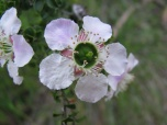 Close up of flower of prickly tea tree, leptospermum juniperium, Edward Hunter Heritage Bush Reserve