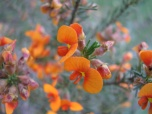 Red parrot-pea, dillwynia hispida, Edward Hunter Heritage Bush Reserve