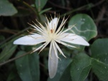 Shows white flower in close up, Edward Hunter Heritage Bush Reserve