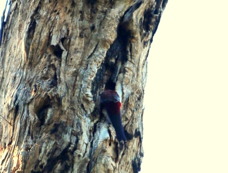 Shows crimson rosella using tree hollow, Edward Hunter Heritage Bush Reserve
