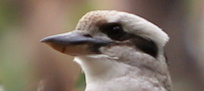 Kookaburra eye stripe, Edward Hunter Heritage bush Reserve