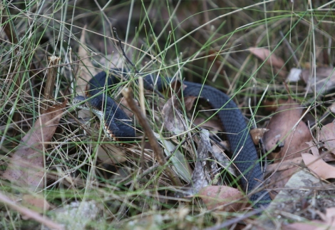 Red-bellied black snake, Edward Hunter Heritage Bush Reserve