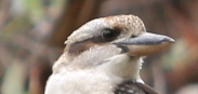 Kookaburra eye stripe, Edward Hunter Heritage bush Reserve