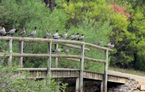 Australian Wood Duck, birds, Edward Hunter Heritage Bush Reserve
