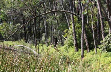 Shows scrambling coral fern along Coral Fern Walk, Edward Hunter Heritage Bush Reserve