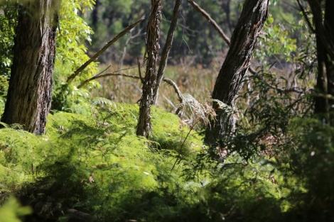 Shows scrambling coral fern on western side of reservoir, Edward Hunter Heritage Bush Reserve