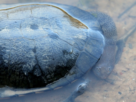 Shows an Eastern long-necked turtle pulling its neck in sideways against its body, Edward Hunter Heritage Bush Reserve