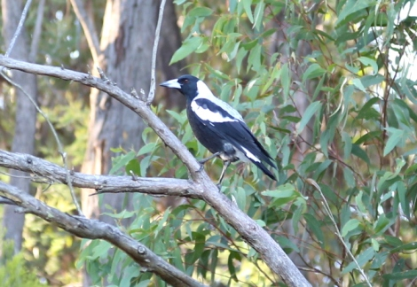 Shows female young magpie in tree, Edward Hunter Heritage Bush Reserve