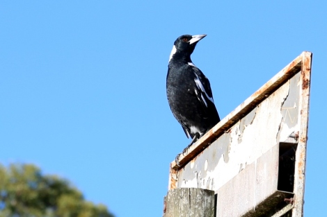 Shows young magpie on sign, Edward Hunter Heritage Bush Reserve