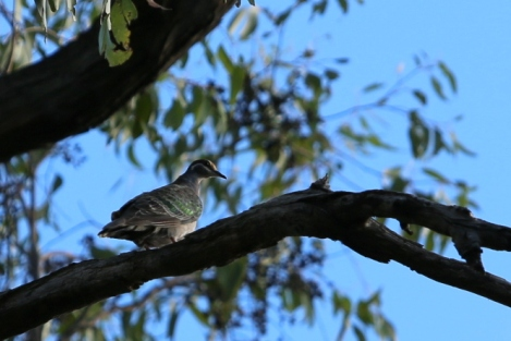 Shows another view female common bronzewing, Edward Hunter Heritge Bush Reserve