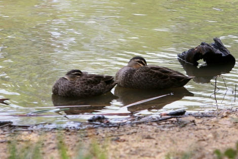 Shows couple of pacific black ducks, curled up near shore, Edward Hunter Heritage Bush Reserve